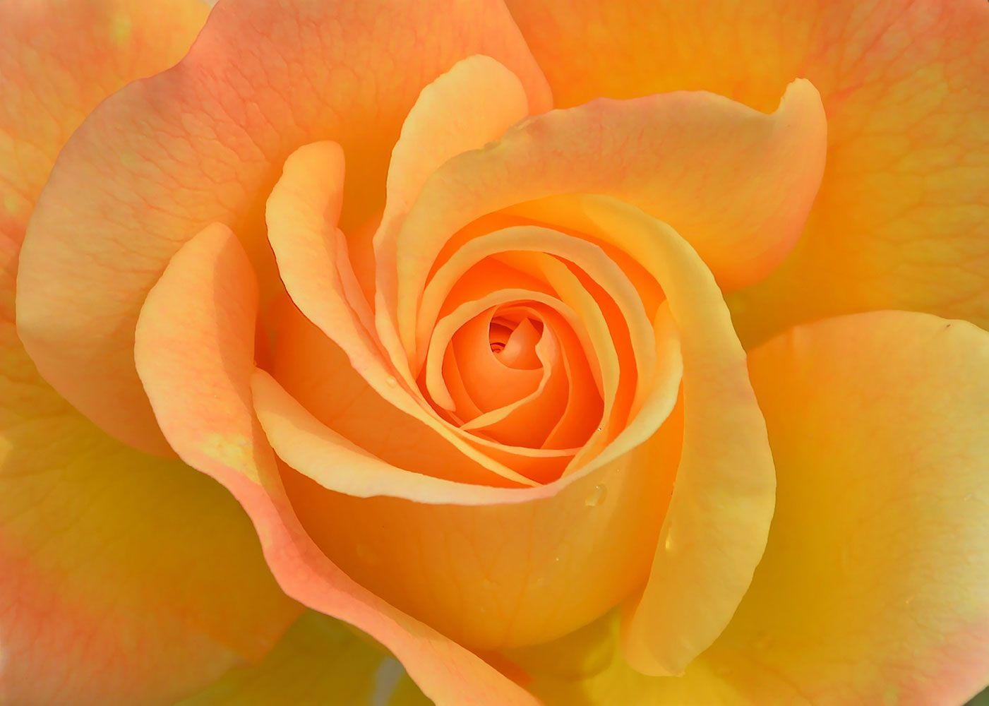 De roos van het inzicht